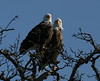 All Eagle pictures were taken at Lake Texoma by Ethan Tweedie.