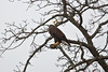 She is agitated as two intruder eagles were flying high above.